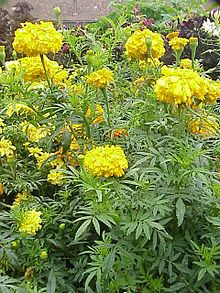 Marigold can be used in bath products