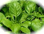 Basil is used in aromatherapy