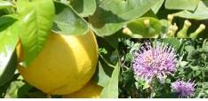 Bergamot essential oil is used in aromatherapy