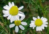 Chamomile flowers and essential oil are used to promote sleep and relaxation at home