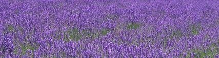 Lavender essential oil is used in aromatherapy