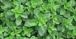 Marjoram can be used in aromatherapy to promote relaxation and comfort.